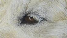 detail-portrait-oeil chien-pastel-peinture